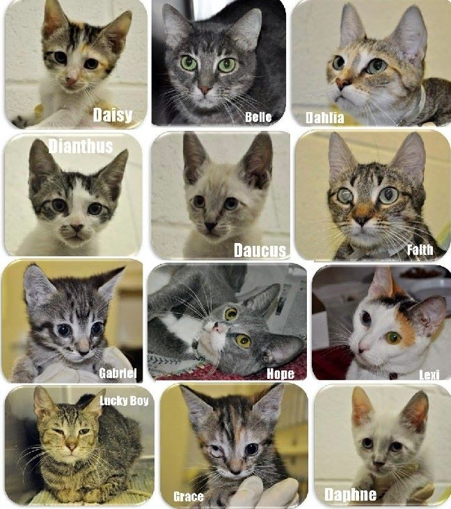 Cats rescued from abuser and  hoarder Westcott