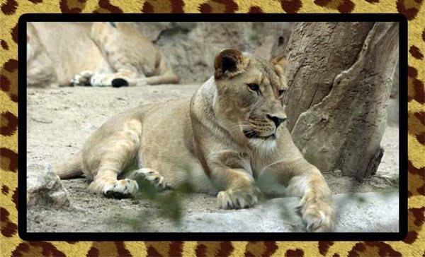 Declawed lioness
