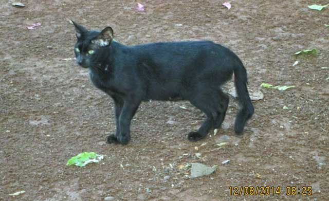 Indonesian bent tailed cat. Photo: Rudolph Furtado