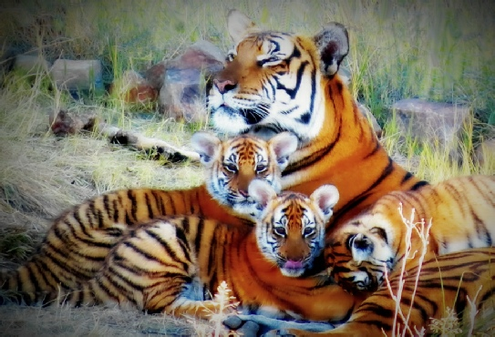 South china tiger breeding programme