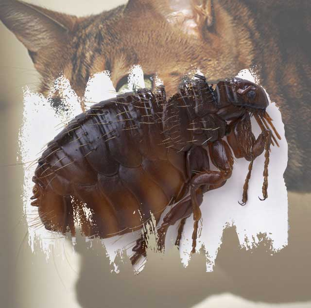 Cat flea resistance to flea treatments