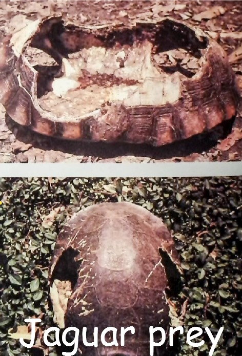 The turtle is a favourite meal of the jaguar