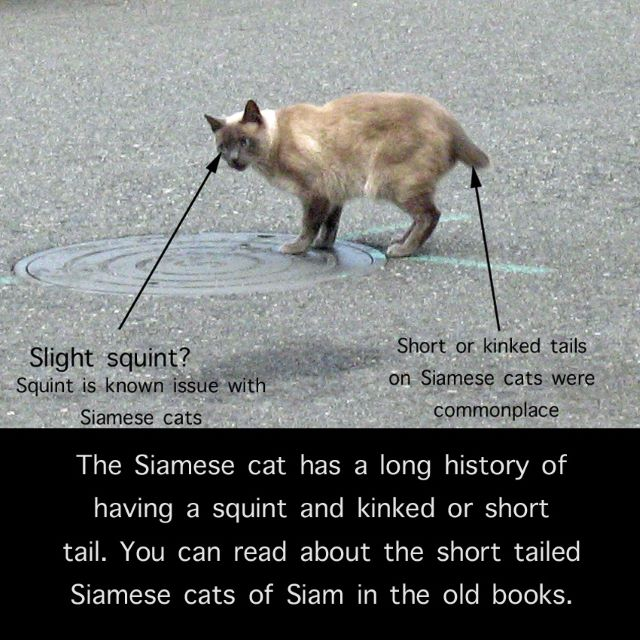 Siamese street cat with short tail