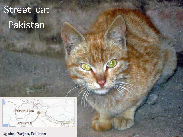 Street cat Pakistan