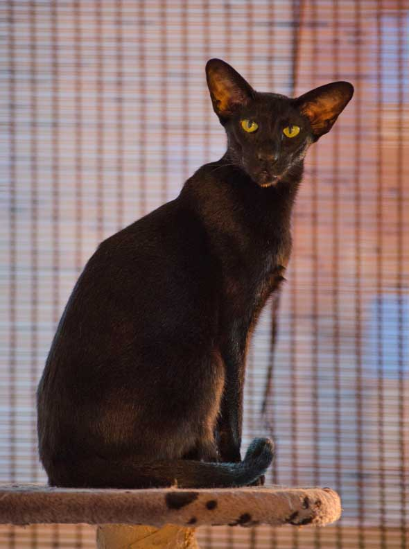 """Usyaka"" Oriental Shorthair. Photo by Alexandra."