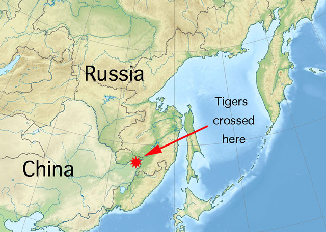 Siberian tigers wander into china
