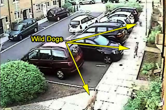 Wild dogs UK killing cats