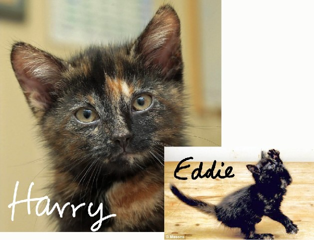 Eddie and Harry male tortoiseshell cats