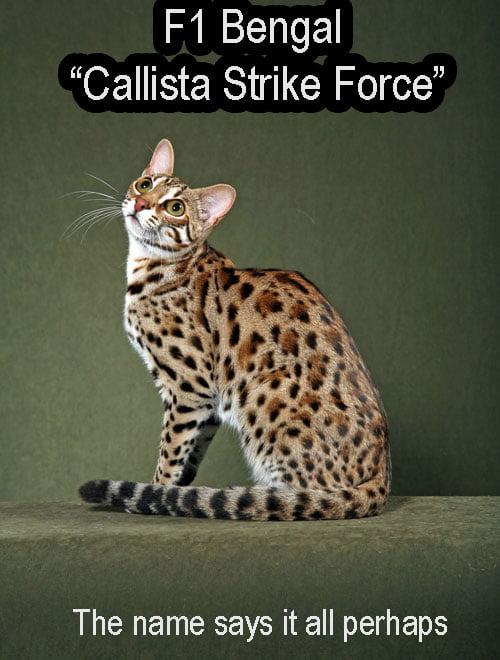 F1 Bengal cat