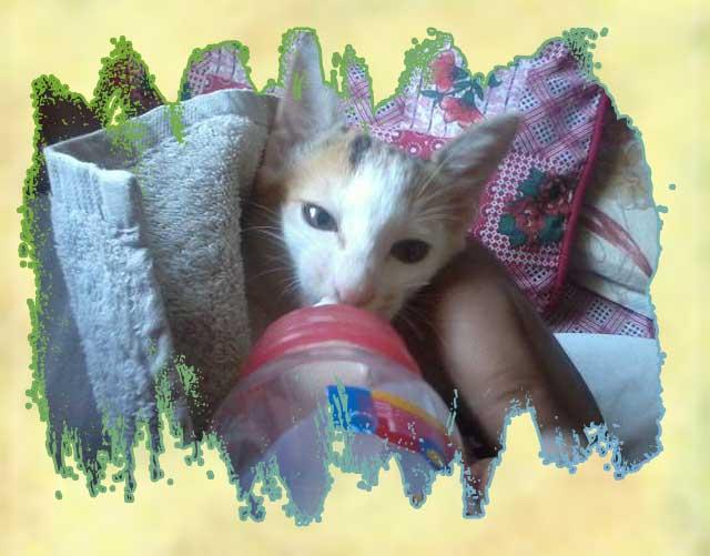 Rescued feral cat in Pakistan
