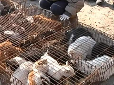 Cats stolen and caged for cat meat and fur in China
