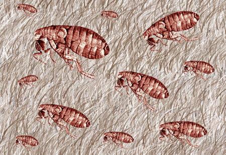 fleas in carpet