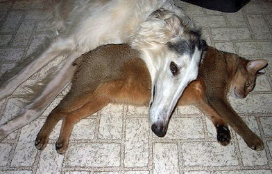 Dog with Cat. Greyhound? with Abyssinian.