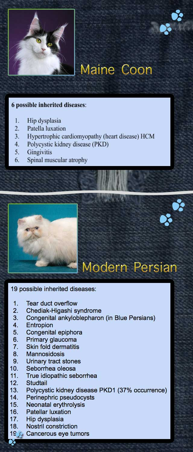 Maine Coon versus Modern Persian on inherited health issues