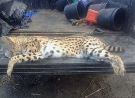 Serval killed on road Vancouver
