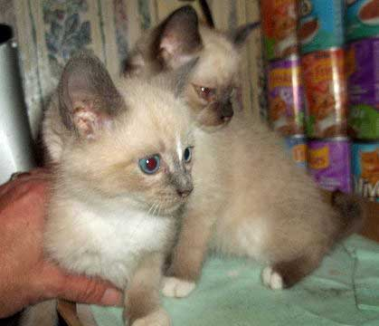 Siamese mix cats rescue by me