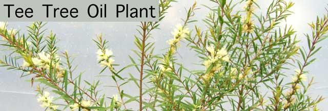 Tee Tree Oil Plant