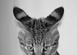 Savannah cat ears back