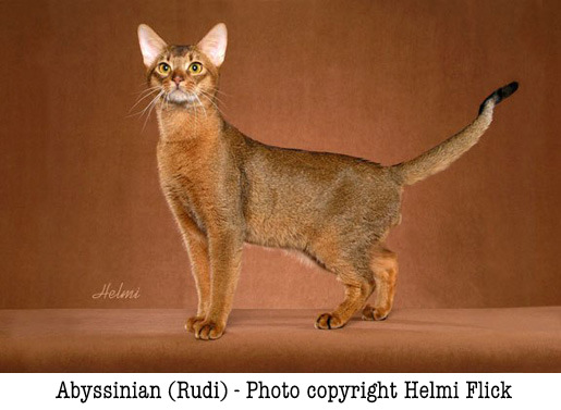 Abyssinian cat Rudi