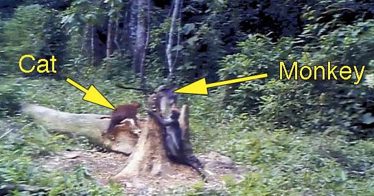 African golden cat attacks monkey in Uganda