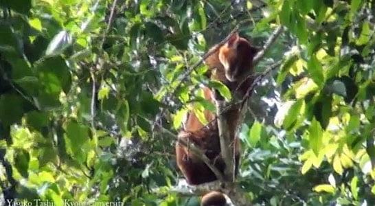 African golden cat harassed by monkeys in Uganda