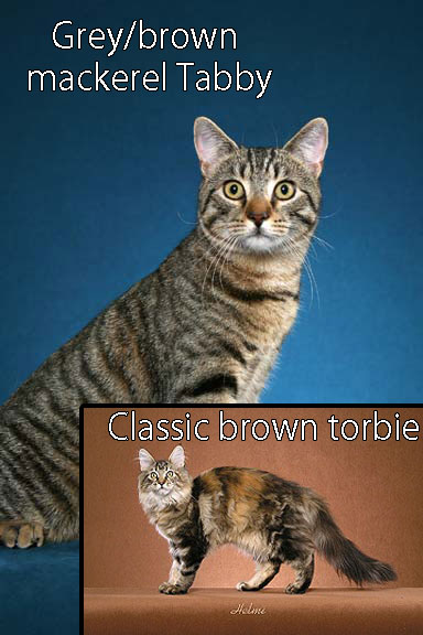Comparing torbie and tabby