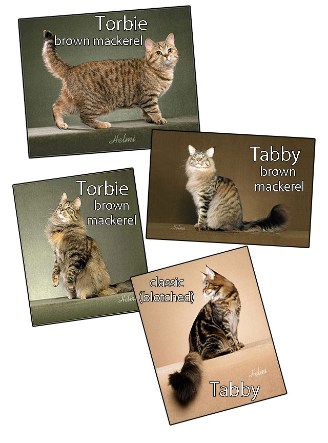 Comparing torbie and tabby cats