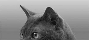 Cat Ear Positions - Ears Forward