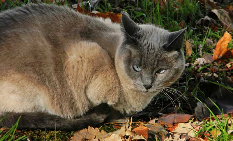 Blue Siamese outdoors