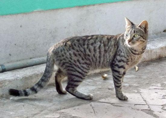 Random bred (free living) tabby cat.