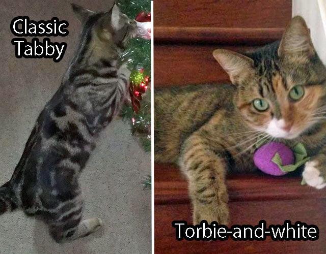 Torbie versus Tabby