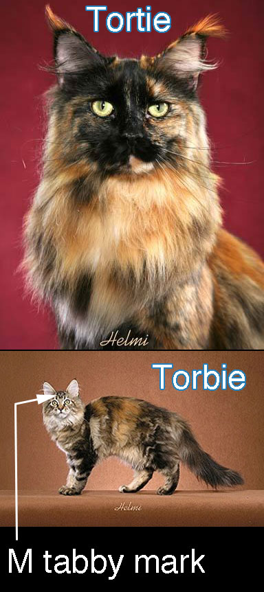Difference between torbie and tortie
