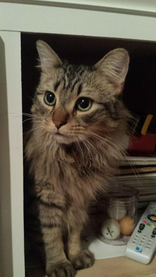 Comparing Maine Coon Norwegian Forest And Siberian Cats