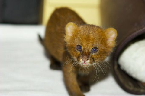 Jaguarundi kitten in a home