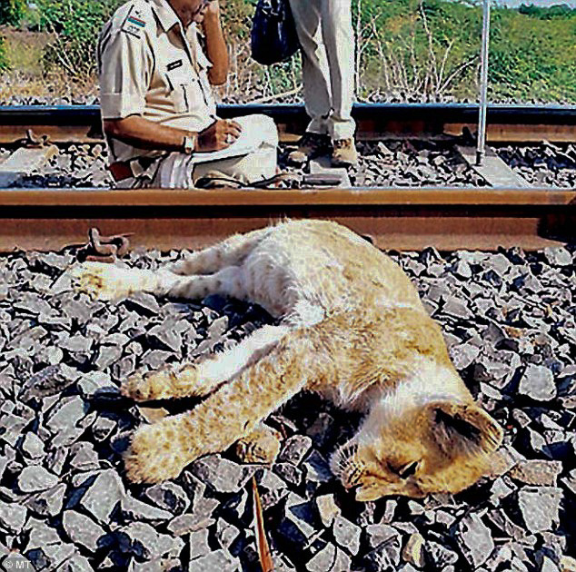 Lion killed on railway in Gir forest