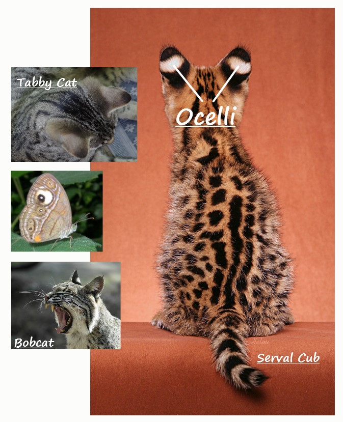 What are ocelli
