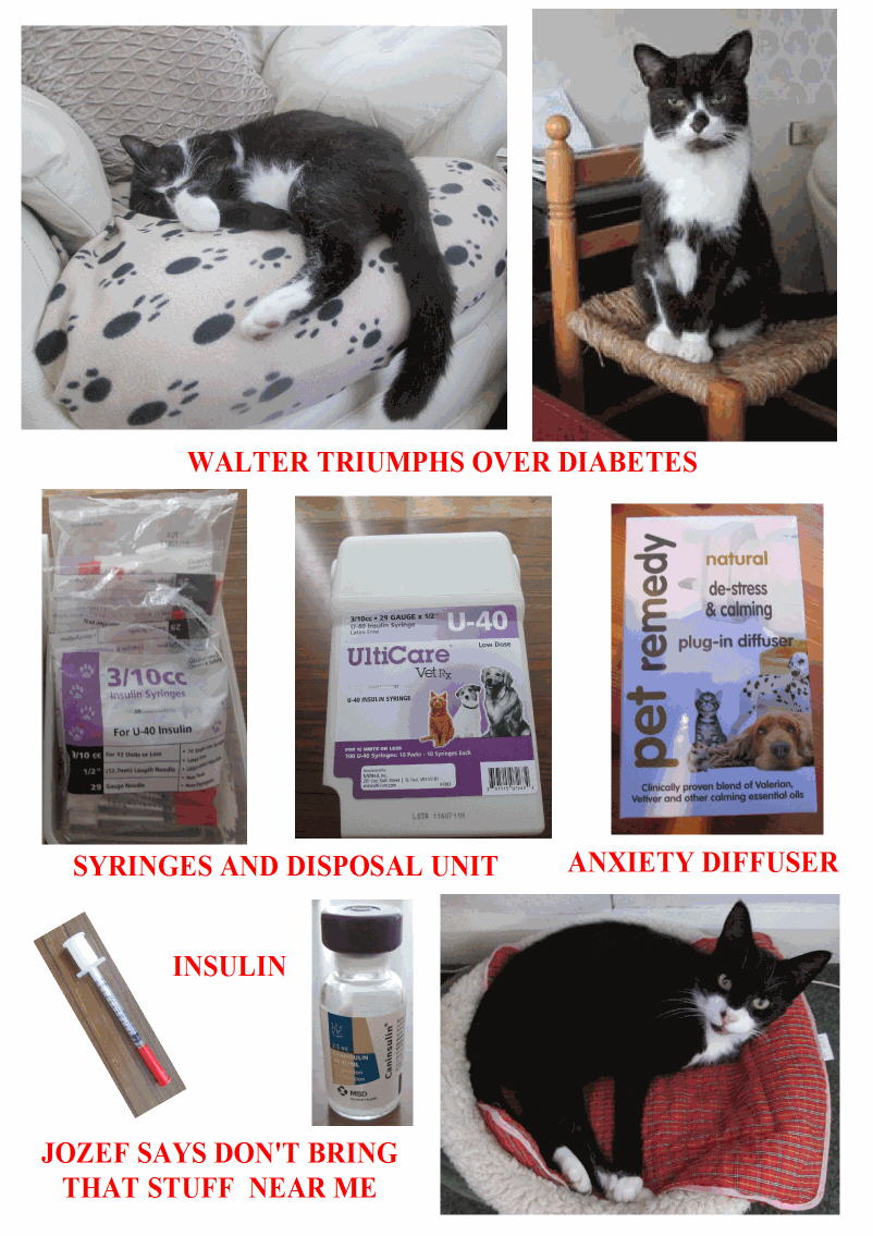 Walter a cat recovers from diabetes in 10 weeks