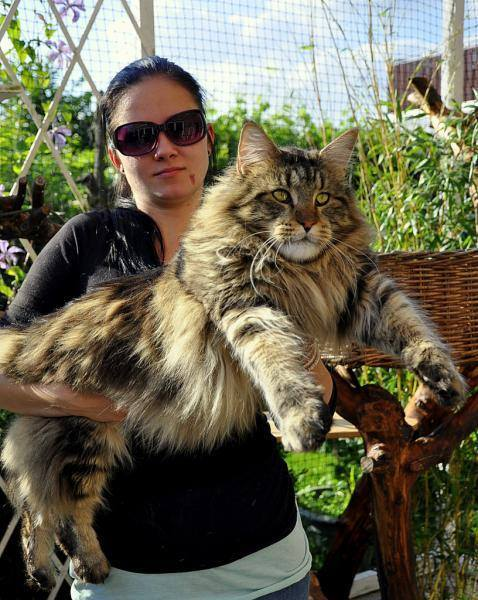 Enormous Maine Coon cat