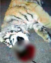 Tiger cub leaps to his death from 11 stories up