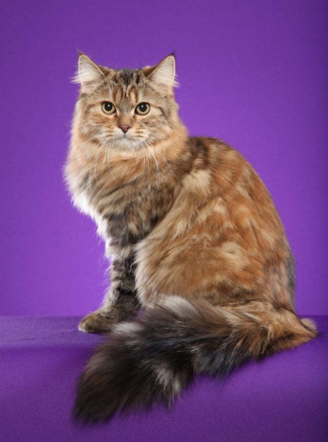 Gemma: Torbie Siberian Cat