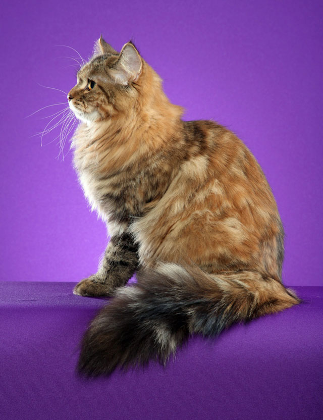 Gemma: Torbie Siberian Cat. Photo copyright Helmi Flick