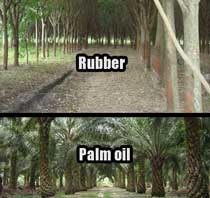 Rubber and palm oil