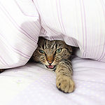 cat under the duvet