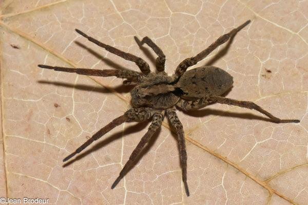 Gladicosa gulosa female