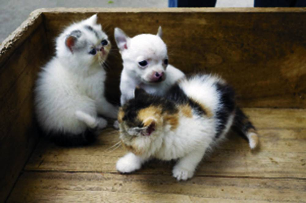 Chihuahua in a litter of kittens China.