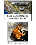 Wild cat attacks domestic cat California