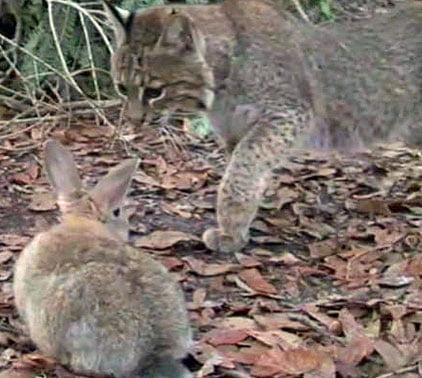 Feeding live rabbits to bobcats at BCR