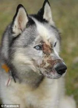 Logan a dog attacked with acid.