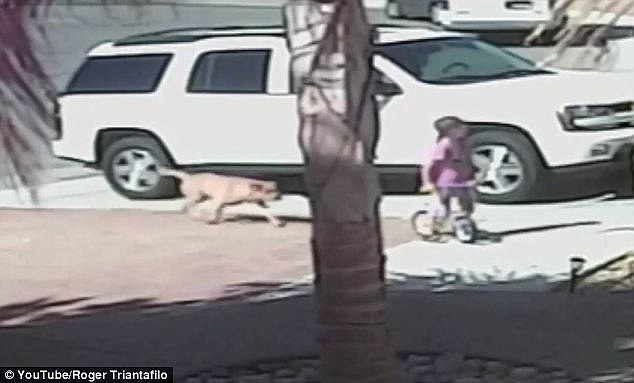 dog attacks boy but saved by cat