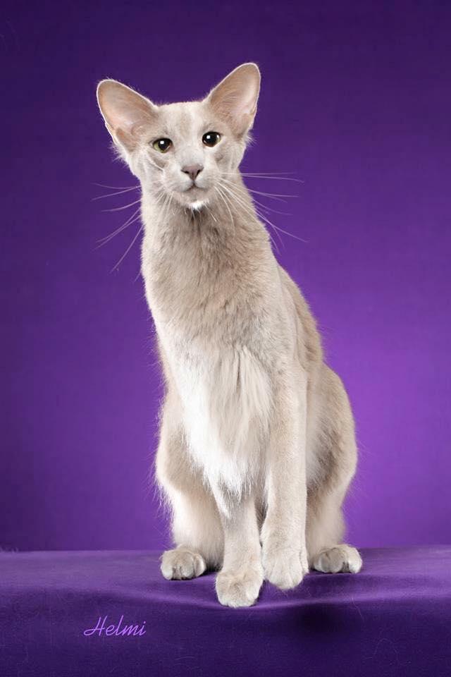 Oriental Long Cat